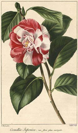 Camellia Japonica. Rose Camellia.